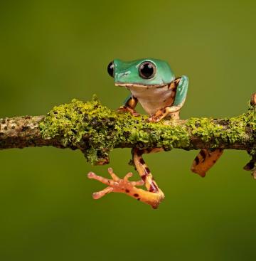 amuletos de ranas